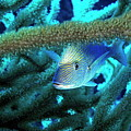Lutjan Seaperch Hiding In Soft Coral by Sami Sarkis