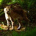 Lynx Rufus by David Lee Thompson