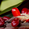 Magnolia Seeds by Christopher Holmes