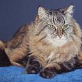 Maine Coon Kitty by Kay Ridge