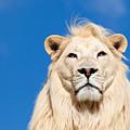 Majestic White Lion by Sarah Cheriton-Jones