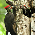 Male Pileated Woodpecker At Nest by Mircea Costina Photography