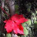 Maple Leaf Still Life by Charles Warren