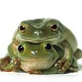 Mating Frogs by Darwin Wiggett