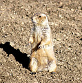 Mean Old Prairie Dog by Christopher Wood