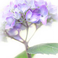 Misty Hydrangea Flower by Jennie Marie Schell