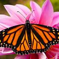 Monarch And Dahlia by Steve Augustin