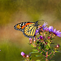 Monarch Butterfly In The Afternoon Sun by James Steele