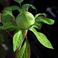 Monstrous Plant Bud by Douglas Barnett