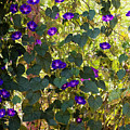 Morning Glories by Margie Hurwich