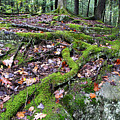 Moss Tree Roots Fall Color by Thomas R Fletcher