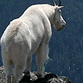 Mountain goat 2 Print by Sean Griffin