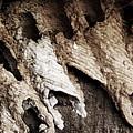 Mud Dauber by Pete Hellmann