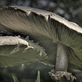 Mushrooms by Fred Lassmann