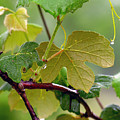 My Grapvine by Robert Meanor