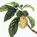 Noni Fruit by Hawaiian Legacy Archive - Printscapes