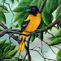 Northern Oriole by David G Paul