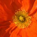 Orange Poppy Flower by Julia Hiebaum