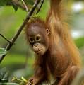 Orangutan Pongo Pygmaeus Baby Swinging by Christophe Courteau