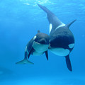 Orca Orcinus Orca Mother And Newborn by Hiroya Minakuchi