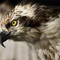 Osprey by Adam Romanowicz