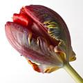 Parrot Tulip 1 by Robert Ullmann