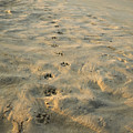 Paw Prints In The Sand by Roberto Westbrook