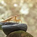 Pensive Mantis by Douglas Barnett