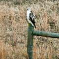 Perched Hawk by Douglas Barnett