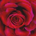 Perfect Rose by Joel Payne