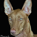 Pharaoh Hound by Larry Linton