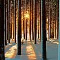 Pine Forest by www.WM ArtPhoto.se