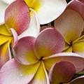 Pink Frangipani by Avalon Fine Art Photography