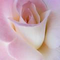 Pink Rose Beginnings