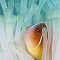 Pink Skunk Clownfish by Liquid Kingdom - Kim Yusuf Underwater Photography