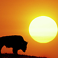 Plains Bison (bison Bison), Digital Composite by Altrendo Nature
