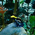 Poison Dart Frog Poised For Leap by Douglas Barnett