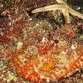 Poisonous Stone Fish, Scorpaena Mystes by James Forte