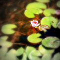 Pond Flower by Perry Webster