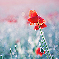 Poppy Field In Flower With Morning Dew Drops by Sophie Goldsworthy