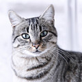 Portrait Gray Tabby Cat by Maika 777