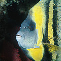 Portrait Of A Cortez Angelfish by James Forte
