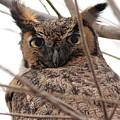Portrait Of A Great Horned Owl by Wingsdomain Art and Photography