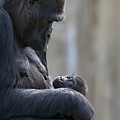 Portrait Of Gorilla Mother Looking by Karine Aigner