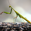 Praying Mantis  by Bob Orsillo
