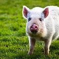 Precocious Piglet by Justin Albrecht