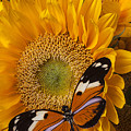 Pretty Butterfly On Sunflowers by Garry Gay