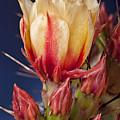 Prickly Pear Flower by Kelley King