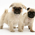 Pugzu And Pug Puppies by Jane Burton