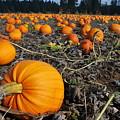 Thistledown Farm pumpkins, Junction City, Oregon